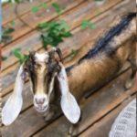 На Острове любви случилась кровавая трагедия с козой Марусей